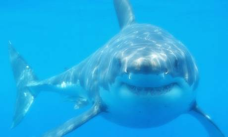 Shark  Photograph: Wikipedia
